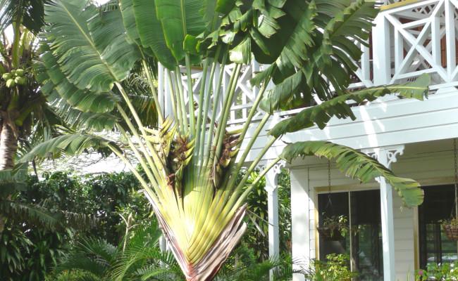 A12 H-161 Fan Palm