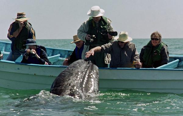Baja Gray Whales 2005