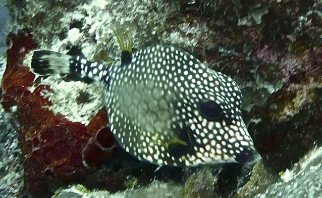 Now:  An adult Smooth Trunkfish
