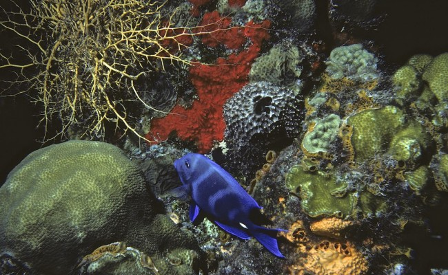 Then:  Colorful reef with a beautiful Blue Tang Surgeonfish