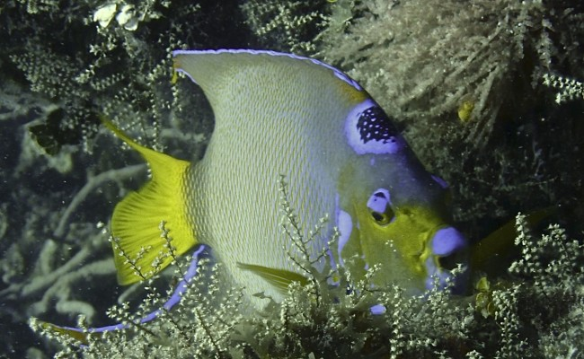 Now:  The Queen Angelfish is spectacular