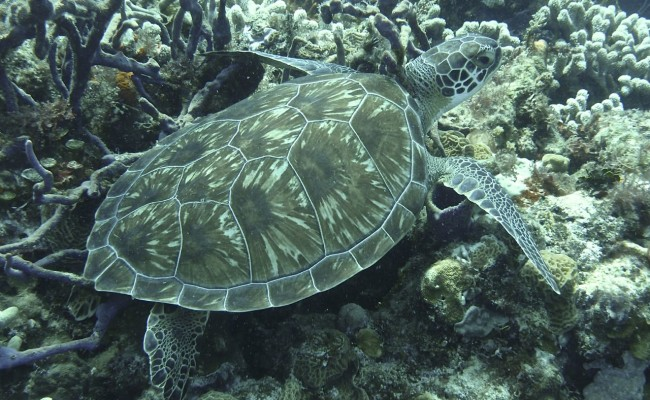 Now:  We saw turtles on almost every dive: Greens, Hawksbills, and a Loggerhead