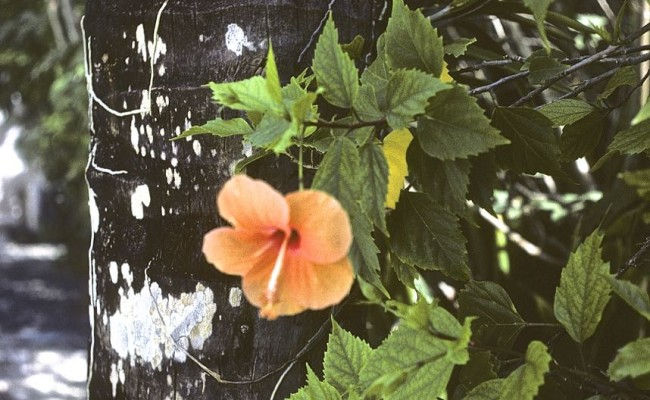 Then: Hibiscus blooming outside our little cabana