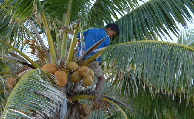 H27 F-0222 Ha'afeva Coconuts