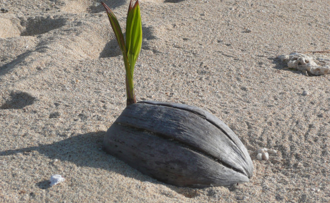 I18 H-894 Sprouting Coconut