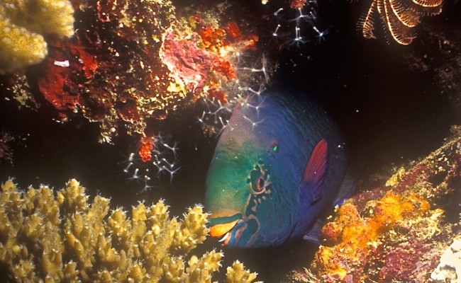 A parrotfish hiding out among the corals