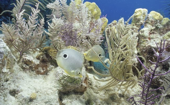 A pair of Foureye Butterflyfish in yet another beautiful fairy garden