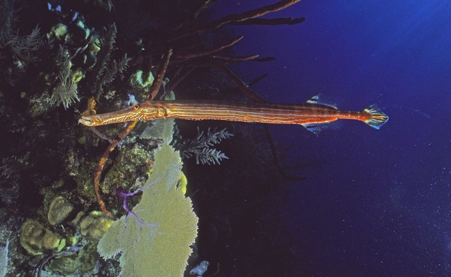 The ever strange and delightful Trumpetfish