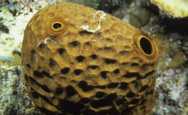 Brown Sea Sponge