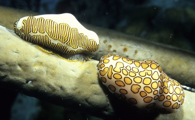 I was thrilled to find both a Fingerprint and a Flamingo Tongue Cowrie together