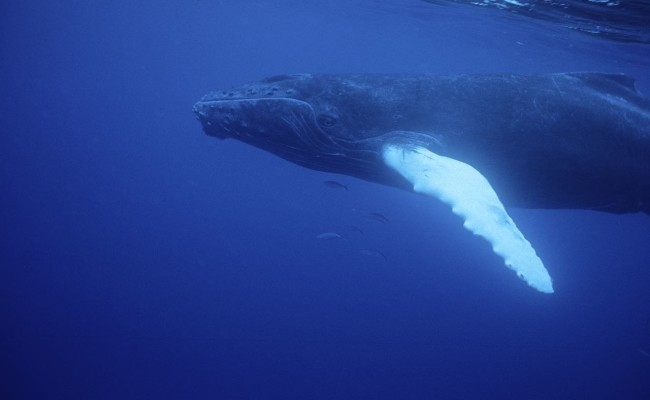 At birth, baby humpbacks are about 20 feet long and weigh 2 tons