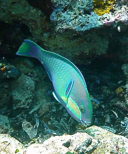 Bleeker's parrotfish (Chlorurus bleekeri)